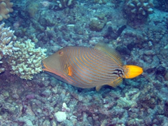 A pretty orange striped triggerfish; Hafusa Thila in North Ari Atoll