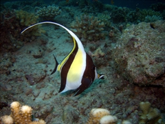 A Moorish Idol in splendid display; Hafusa Thila, North Ari Atoll