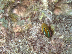 A striped goby fish hides in its coral dwelling; Hafusa Thila, North Ari Atoll