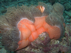 An anemone fish nestled safely within a sea anemone's poisonous tentacles; Maaya Thila night dive
