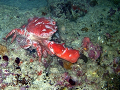 A giant clawed crab scrambles around during our night dive at Maaya Thila; North Ari Atoll