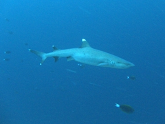White tipped reef shark; Kan Thila, North Ari Atoll