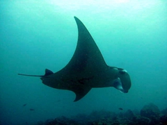 A manta ray glides effortlessly by us; Lankan Faru Manta Ray Point; North Male Atoll