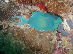 A redtoothed triggerfish attempts to wedge itself into a comfortable position to sleep; Maaya Thila night dive