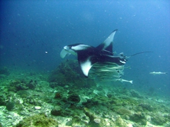 A solitary manta ray attracts over a dozen remoras; Angaga Thila, South Ari Atoll
