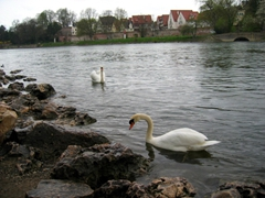 Swans grace the Danube River near Ulm