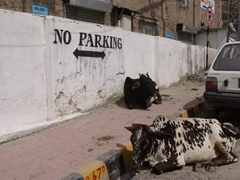 The cows apparently know this is a no parking zone as they lazily lounge nearby