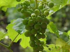 If these grapes were ripe, we would definitely have had a nibble or two!