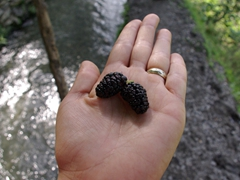 Becky holds out a pair of delicious mulberries...what a treat