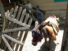 This donkey transported the caretaker of a Bumboret mosque to work