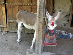 Donkeys are a vital mode of transport in the Kalasha Valleys
