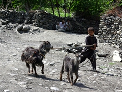 A Kalasha boy struggles to lead his stubborn goats