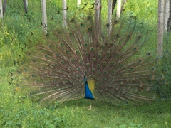 A peacock courtship display at the entrance to Knossos Palace
