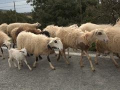 Sheep taking over the road; Frangokastello