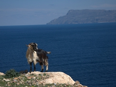 A goat strikes a pose on our drive out to remote Balos Beach