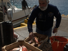 A fisherman offloads his catch; Ammoudi Bay