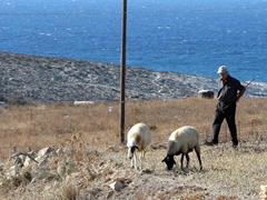 A shepherd guarding wayward members of his flock