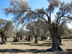 Olive grove; Halki