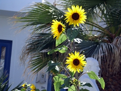 Sunflowers make our day in Naoussa
