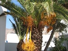 Palm tree on the foot path linking Livadi's ferry quay to Livadakia
