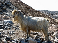 A free roaming goat on the road from Hora to Aegiali