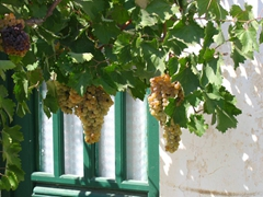 Fresh grapes hanging just beyond our reach