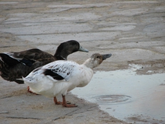 Ducks sipping on fresh water; near the fish market in Hora