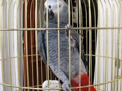 "A Congo African Gray cockatoo at Stelios' Rental (this bird was really smart and would start emulating our ""hello how are you?"" greetings)"