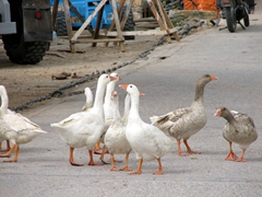 Territorial geese chase away unwanted visitors; Old Harbor