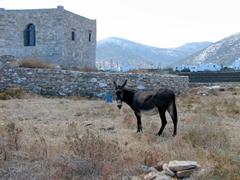 Donkey grazing in a field; Kastro suburbs