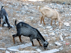 Goats grazing for food; Kastro