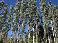 Poplar trees are a common form of perimeter fencing in Northern Tajikistan