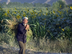A Tajik farmer strolls past a sunflower field at the end of a long Ramazan day