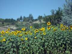 Sunflower fields abound in Northern Tajikistan...we passed by hundreds of fields such as this one