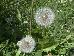 Dandelion seeds in our homestay's garden; Sarotog