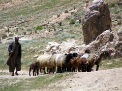 A shepherd minding his herd; near Paghman