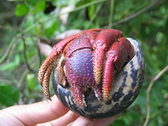 A close up view of St Martin's large hermit crabs