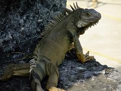 Iguana sunning itself; La Fortaleza Fortress