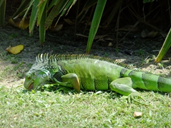 The iguanas at the Wyndham Rio Mar hotel are quite tame!