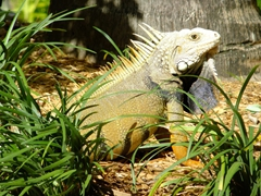 Close up of an iguana checking us out; Rio Grande