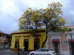 This yellow flowering tree was a common sight in pretty Ponce