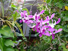 Pretty purple orchids; Coconut Palms Inn; Rincon