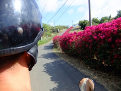 "A bougainvilleas ""fence"" lines the road to Zoni Beach; Culebra"