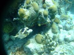 Puffer fish; Punta Soldado