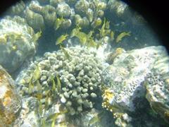 A school of yellow striped fish; Punta Soldado