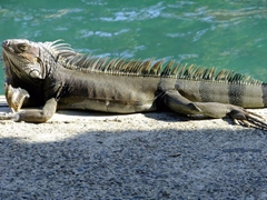 Iguana sunning itself; Mamacitas