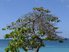 Scenic tree; Sun Bay