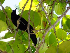 These cheeky black birds had no problems swooping down to steal food; Playa Media Luna