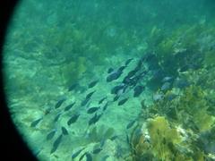 A school of blue fish; Playa Media Luna