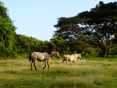 Wild horses run free on the western side of Vieques